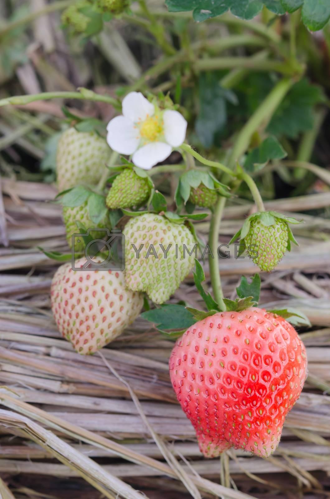 Royalty free image of Strawberry by rakratchada