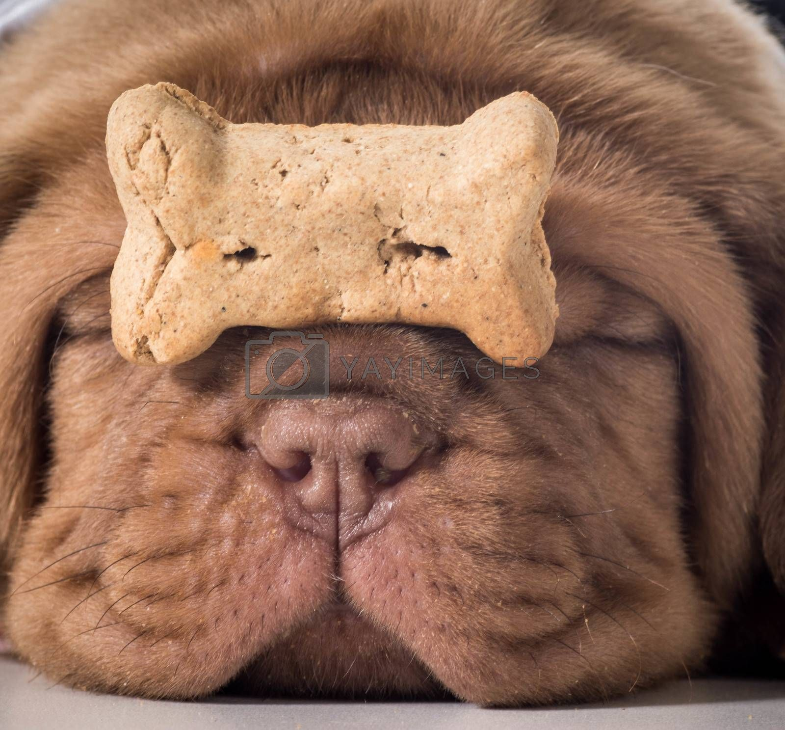 dog with a bone - dogue de bordeaux puppy with a dog buscuit on her nose