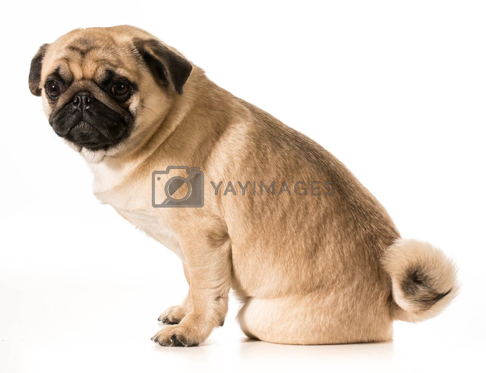 Royalty free image of worried dog by willeecole123