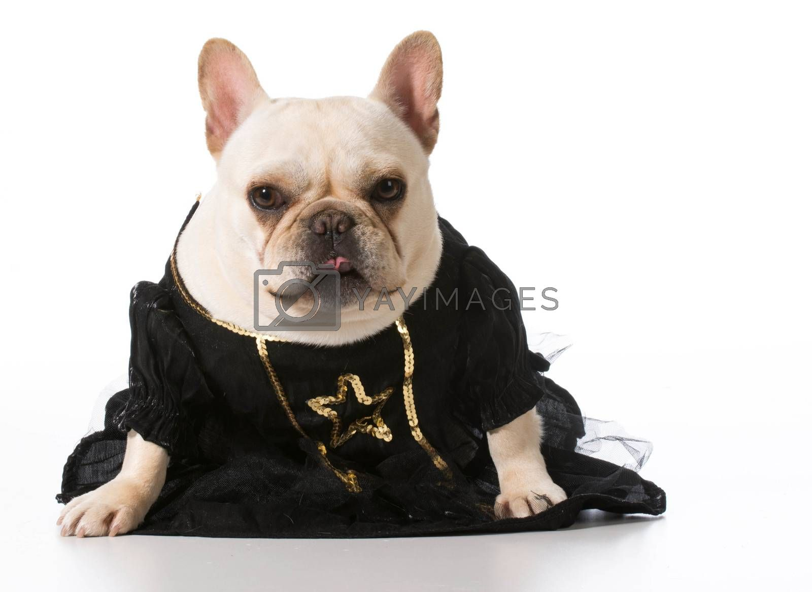 Royalty free image of female french bulldog by willeecole123