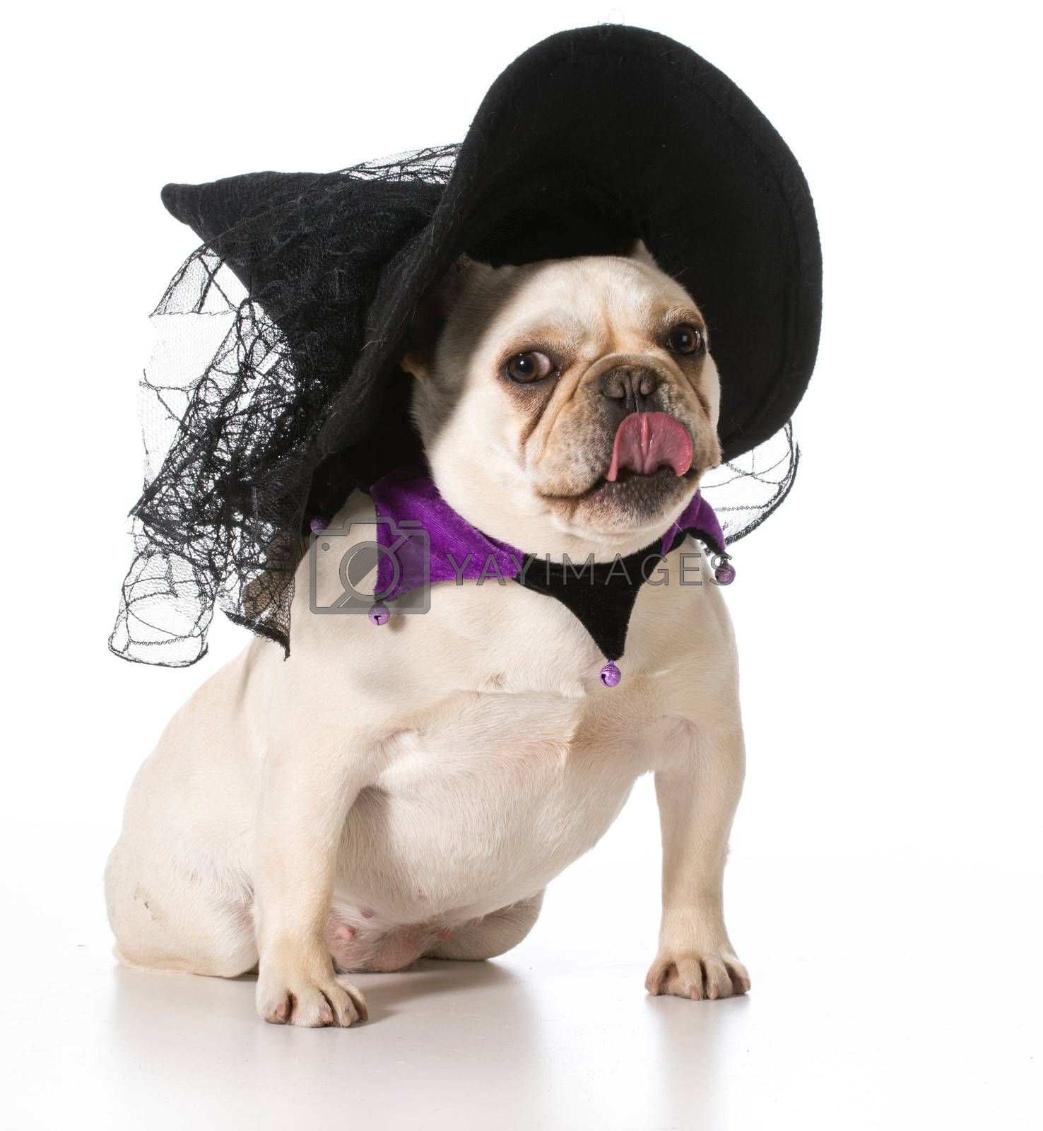 Royalty free image of dog dressed like a witch by willeecole123