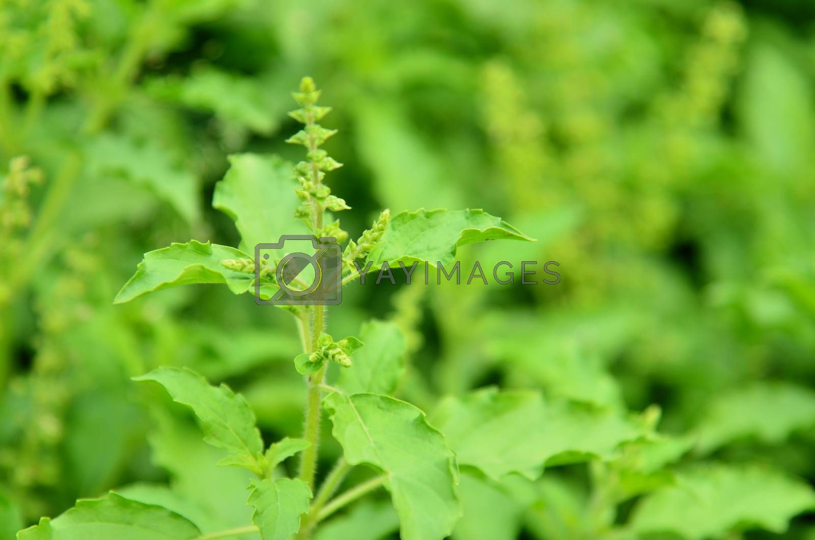 Royalty free image of Ocimum sanctum in the garden by jengit