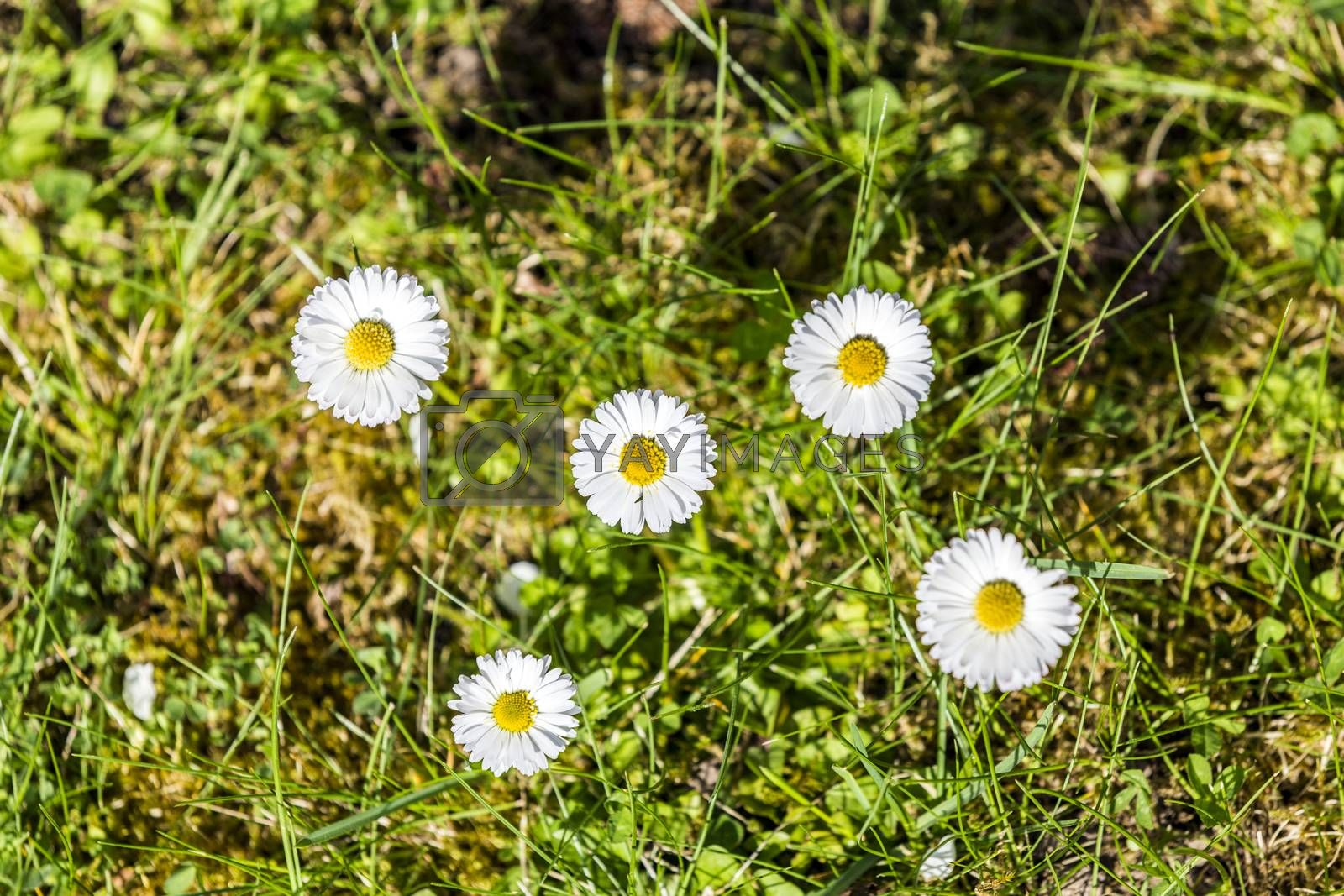 Royalty free image of Daisies in a meadow, close-up  by meinzahn
