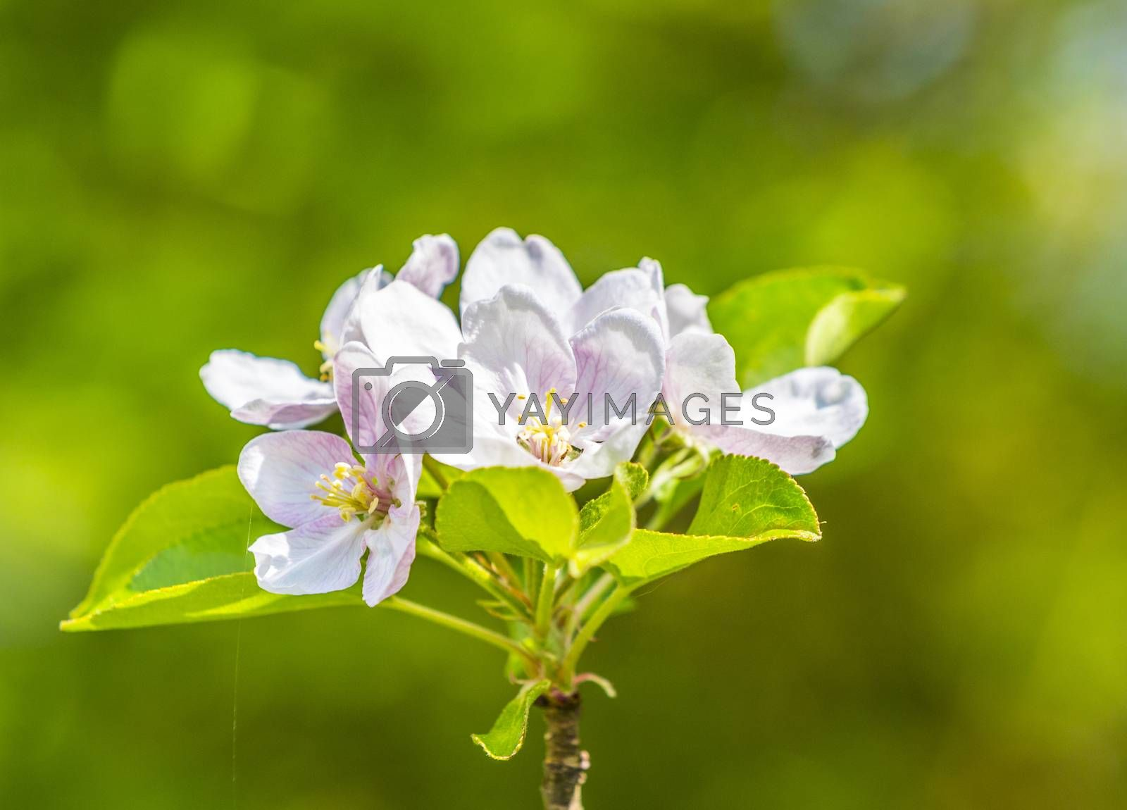 Royalty free image of blossom apple tree  by meinzahn