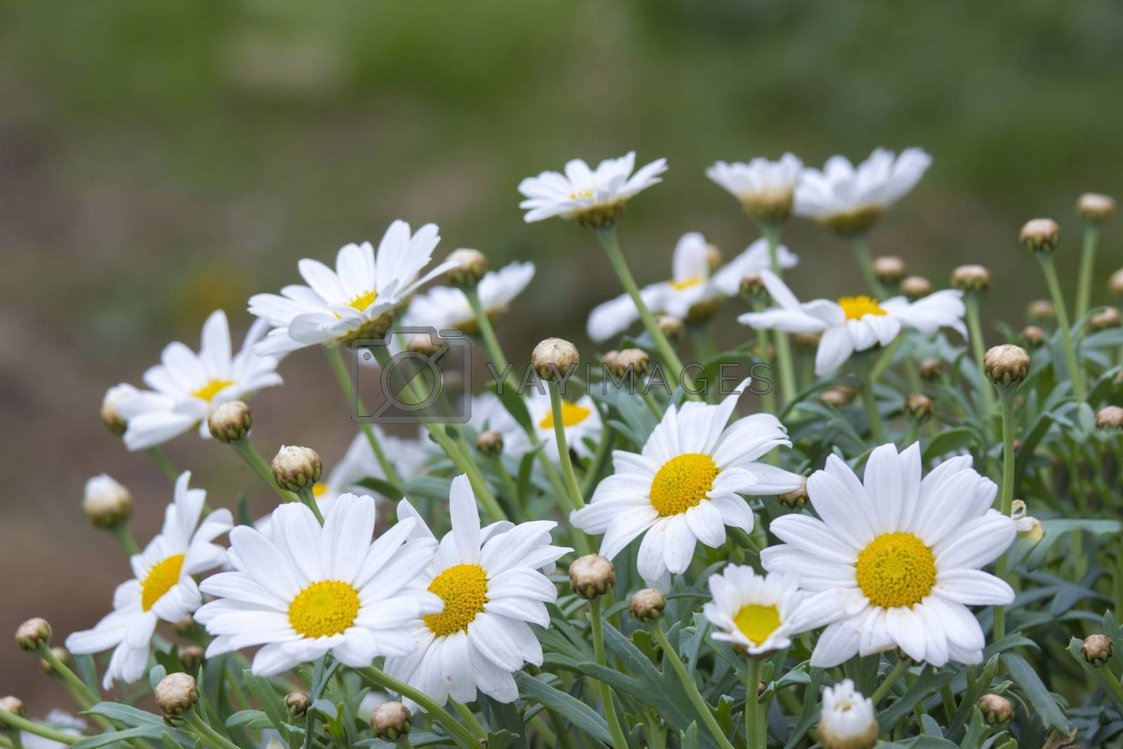 Royalty free image of daisies in the nature by miradrozdowski