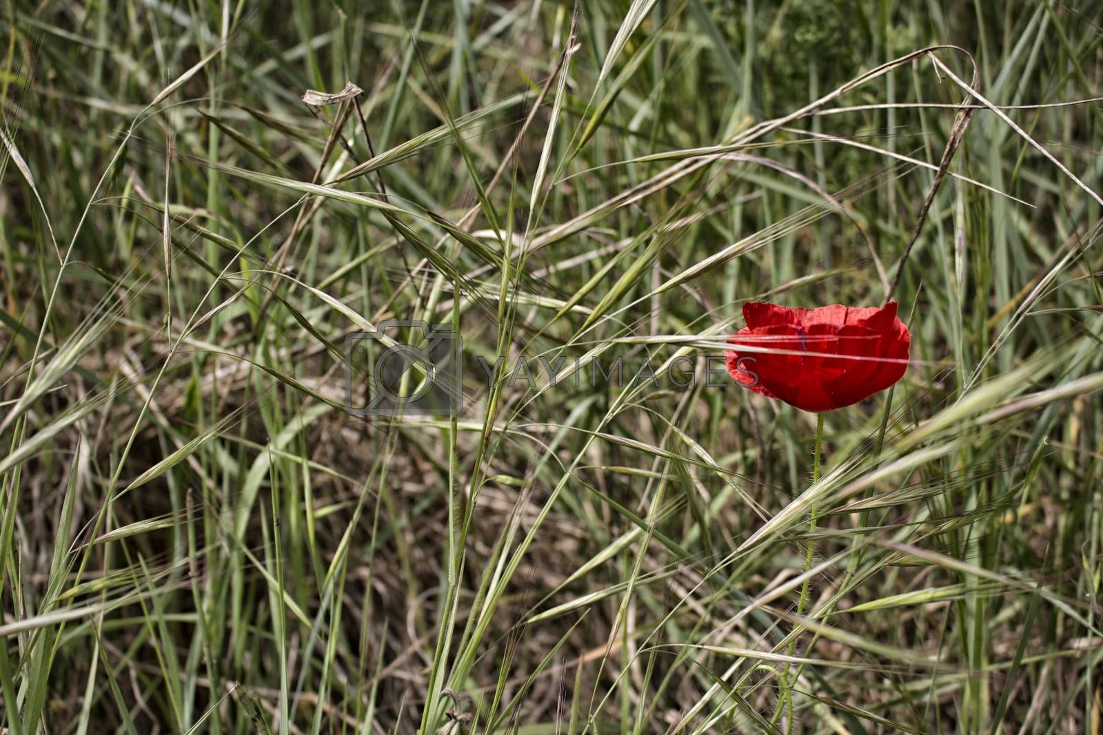 Lone Red poppy on green weeds field