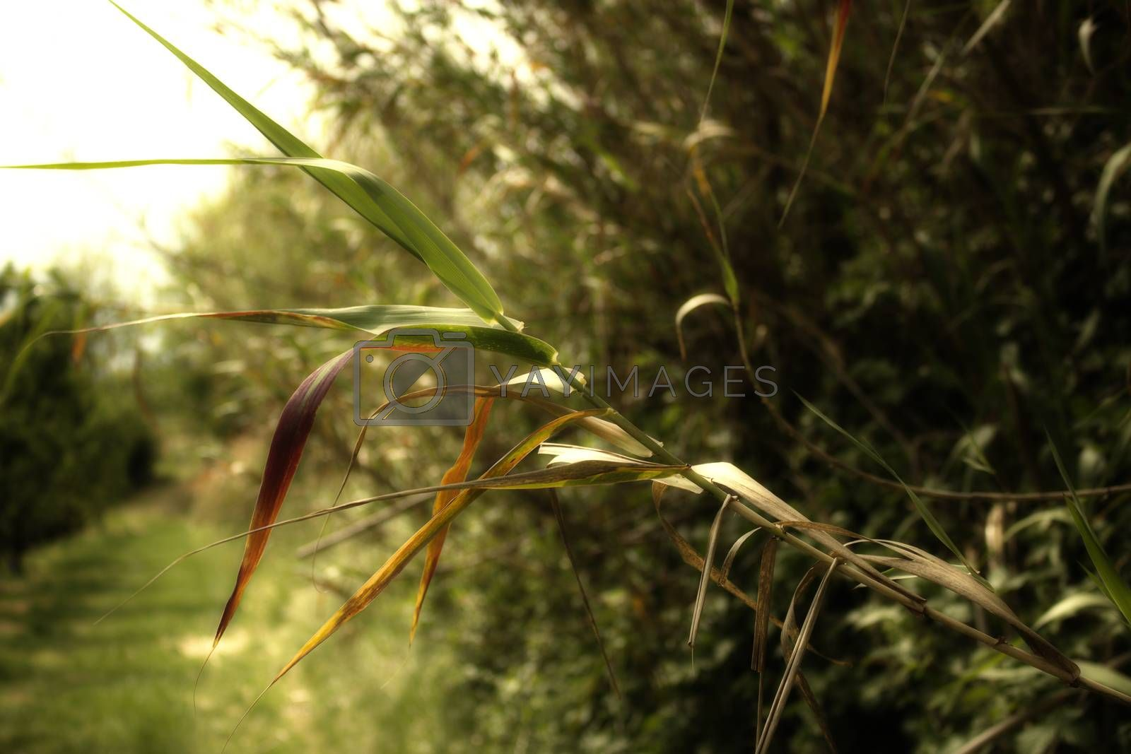 Giant cane on weeds background