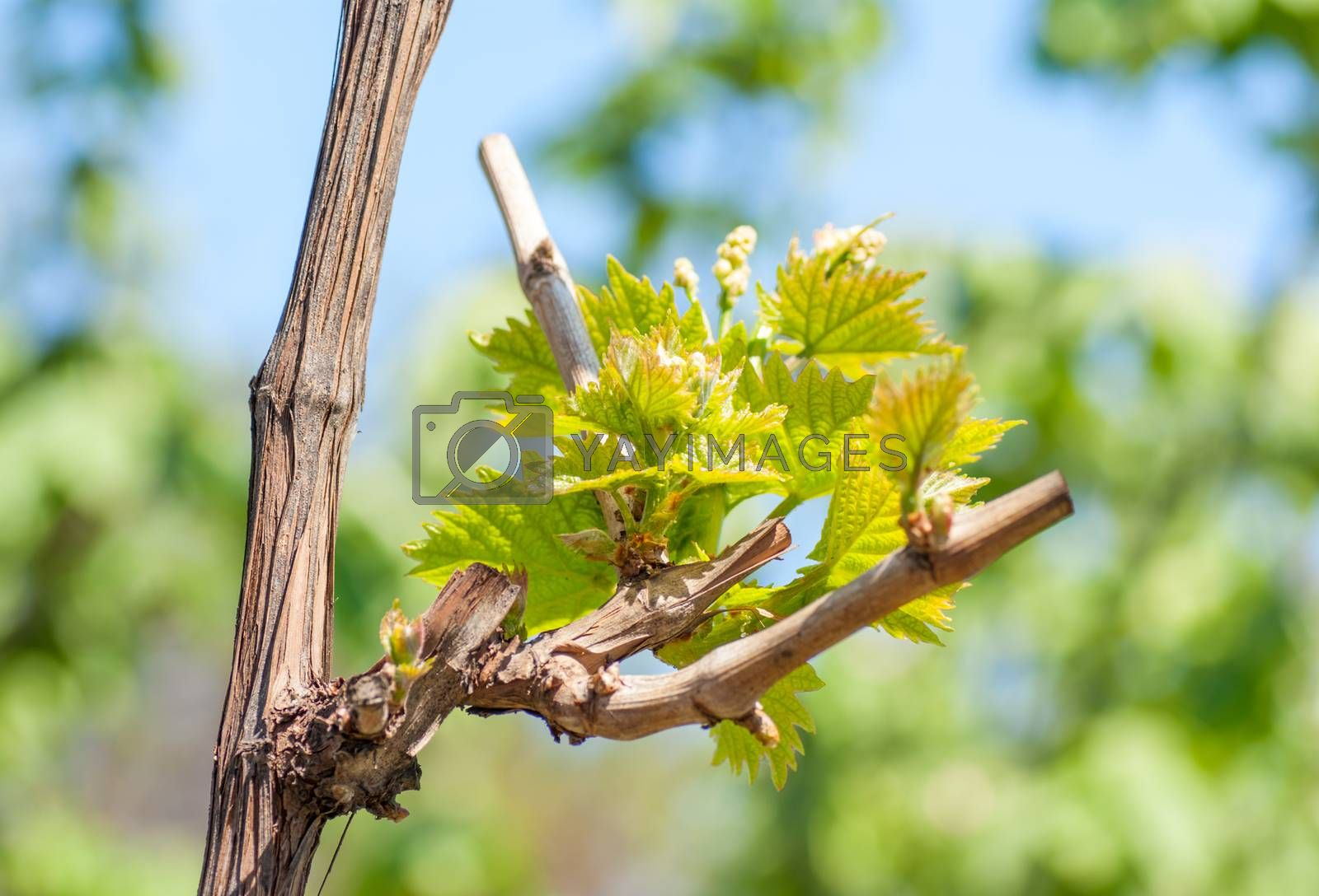 Royalty free image of Spring season background with vine leaves in the vineyard by Zhukow