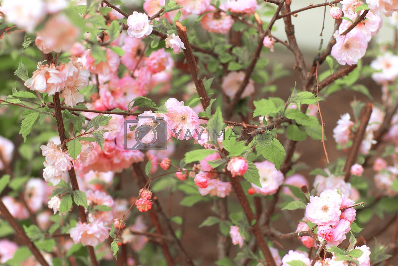 pink flowers on bush - background