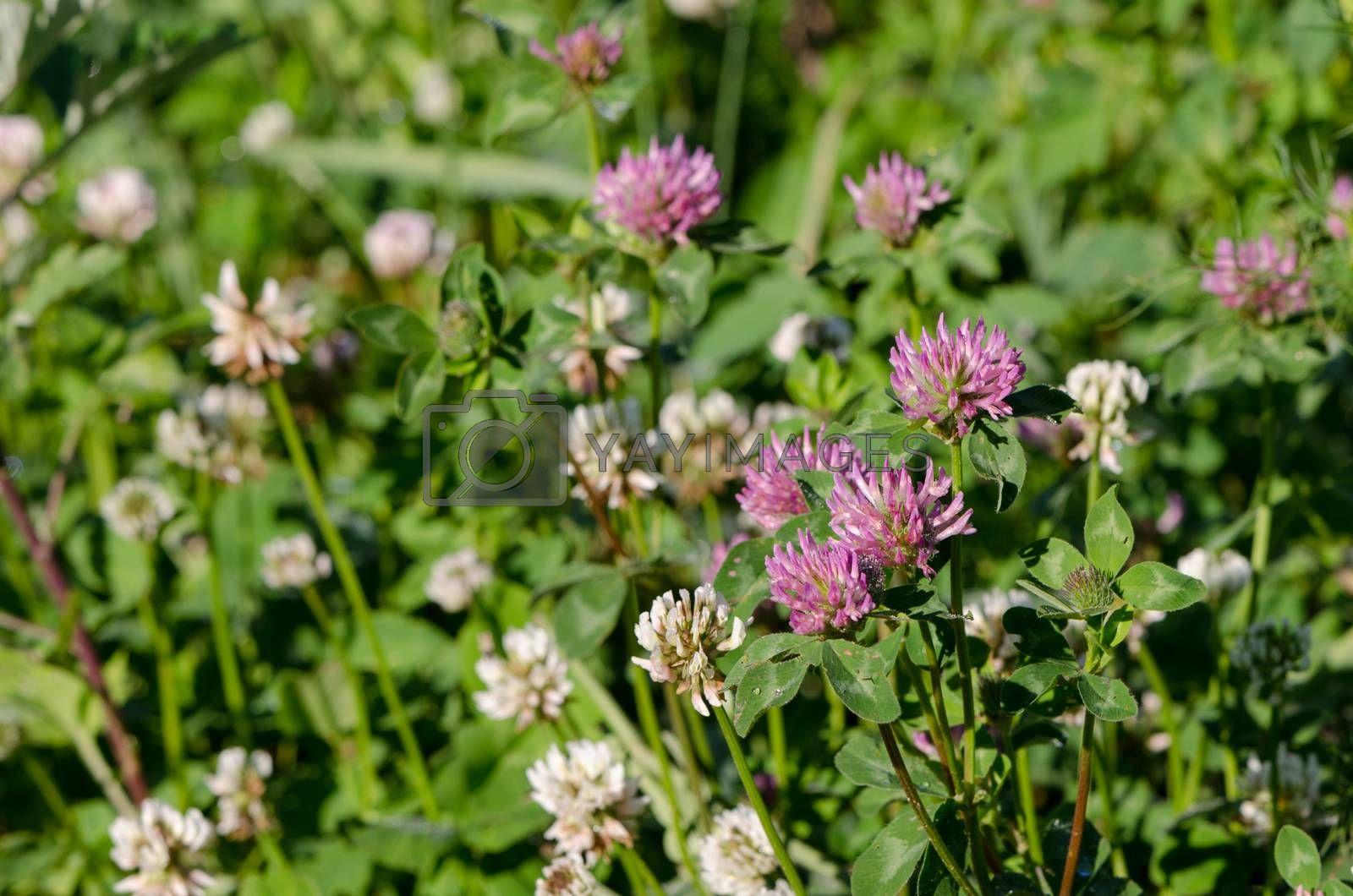 Royalty free image of dewy white and red clover plants grow in meadow  by sauletas