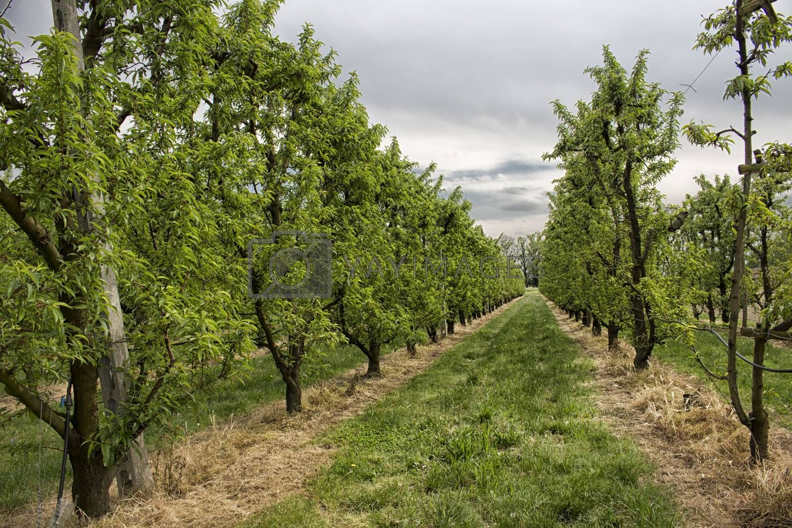 Peach trees rows in an green field: Italian Agriculture