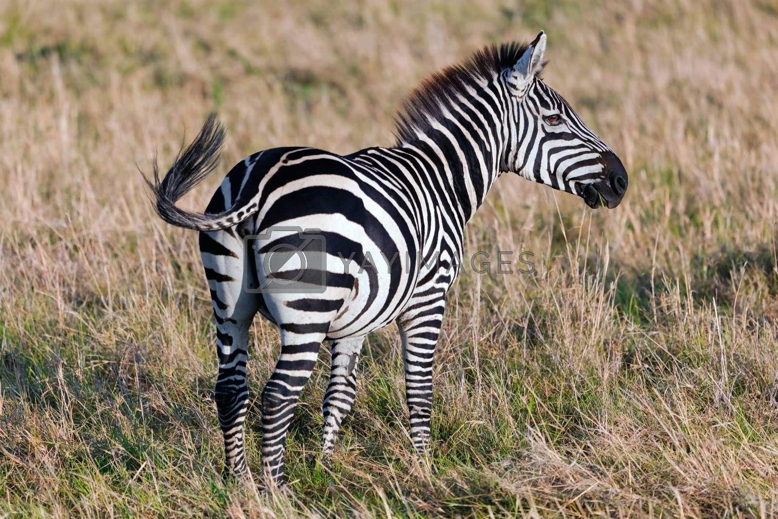 Royalty free image of Zebra on African savanna. by photocreo
