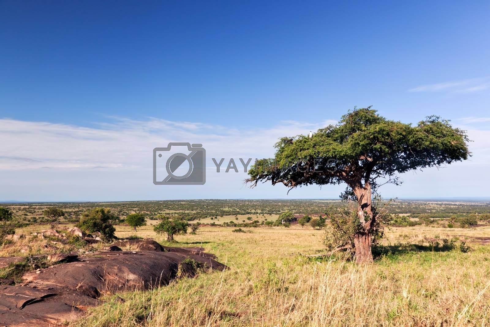Royalty free image of Single tree on savanna, bush in Africa. Tsavo West, Kenya. by photocreo