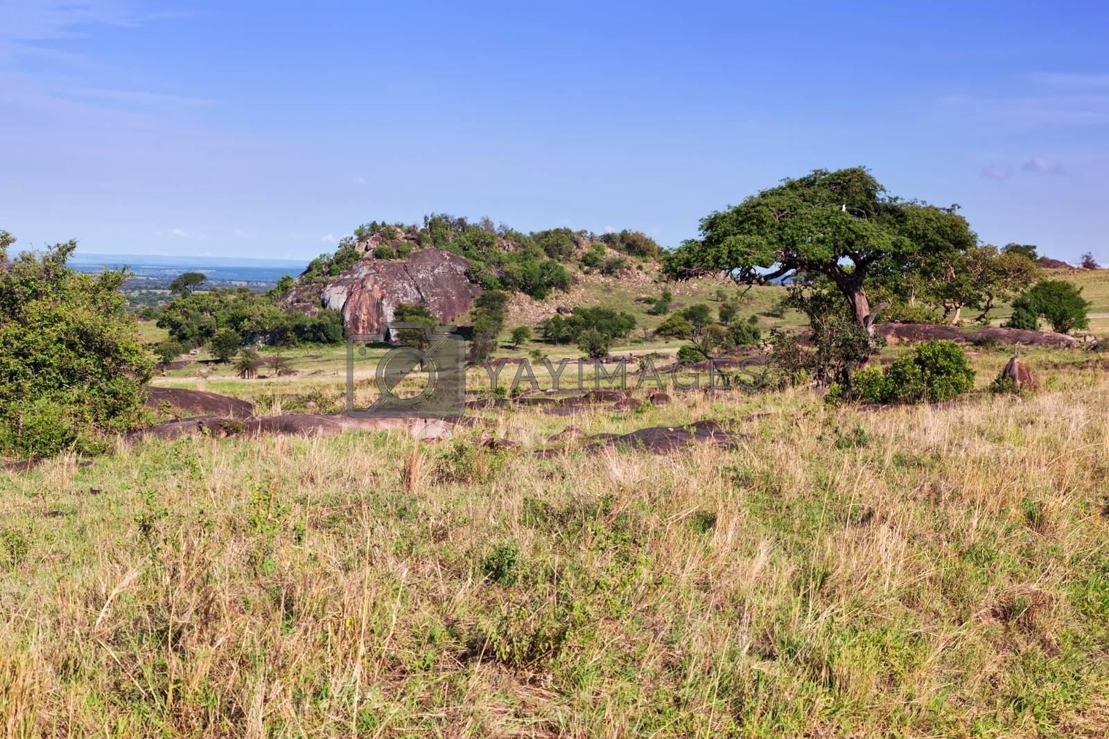Royalty free image of Grassy savanna, bush in Africa. Tsavo West, Kenya. by photocreo