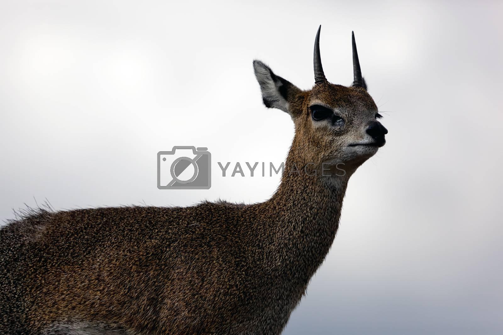 Royalty free image of Klipspringer on rock. Serengeti, Tanzania, Africa by photocreo