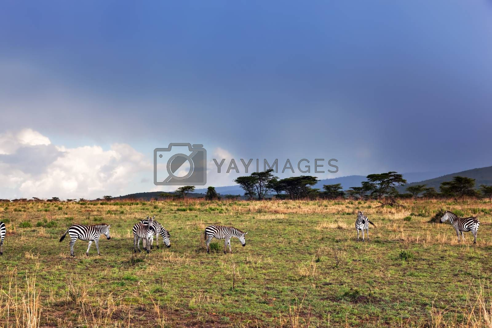 Royalty free image of Zebras herd on African savanna. by photocreo