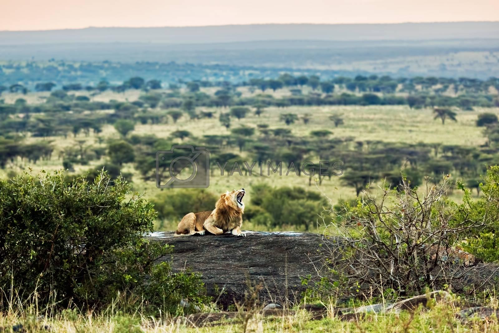 Royalty free image of Lion roars on rocks on savanna at sunset. Safari in Serengeti, Tanzania, Africa by photocreo