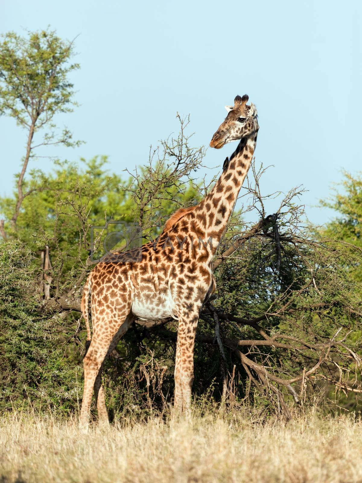 Royalty free image of Giraffe on savanna. Safari in Serengeti, Tanzania, Africa by photocreo