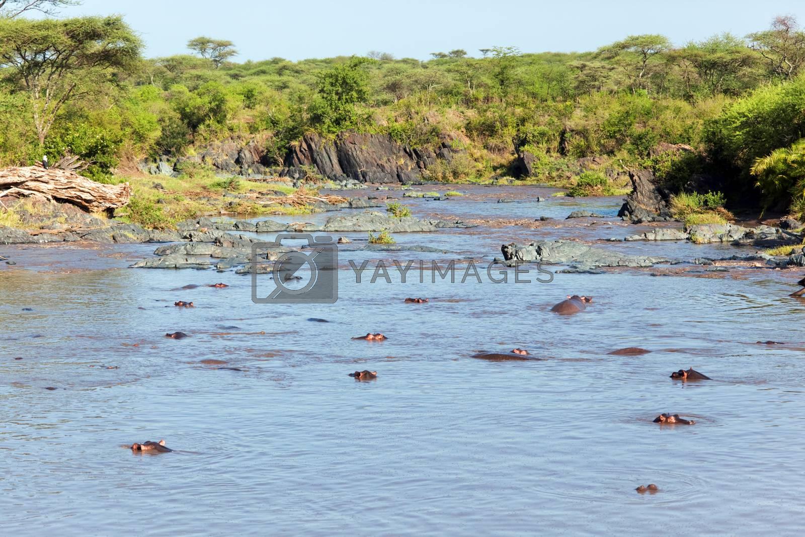 Royalty free image of Hippo, hippopotamus in river. Serengeti, Tanzania, Africa by photocreo