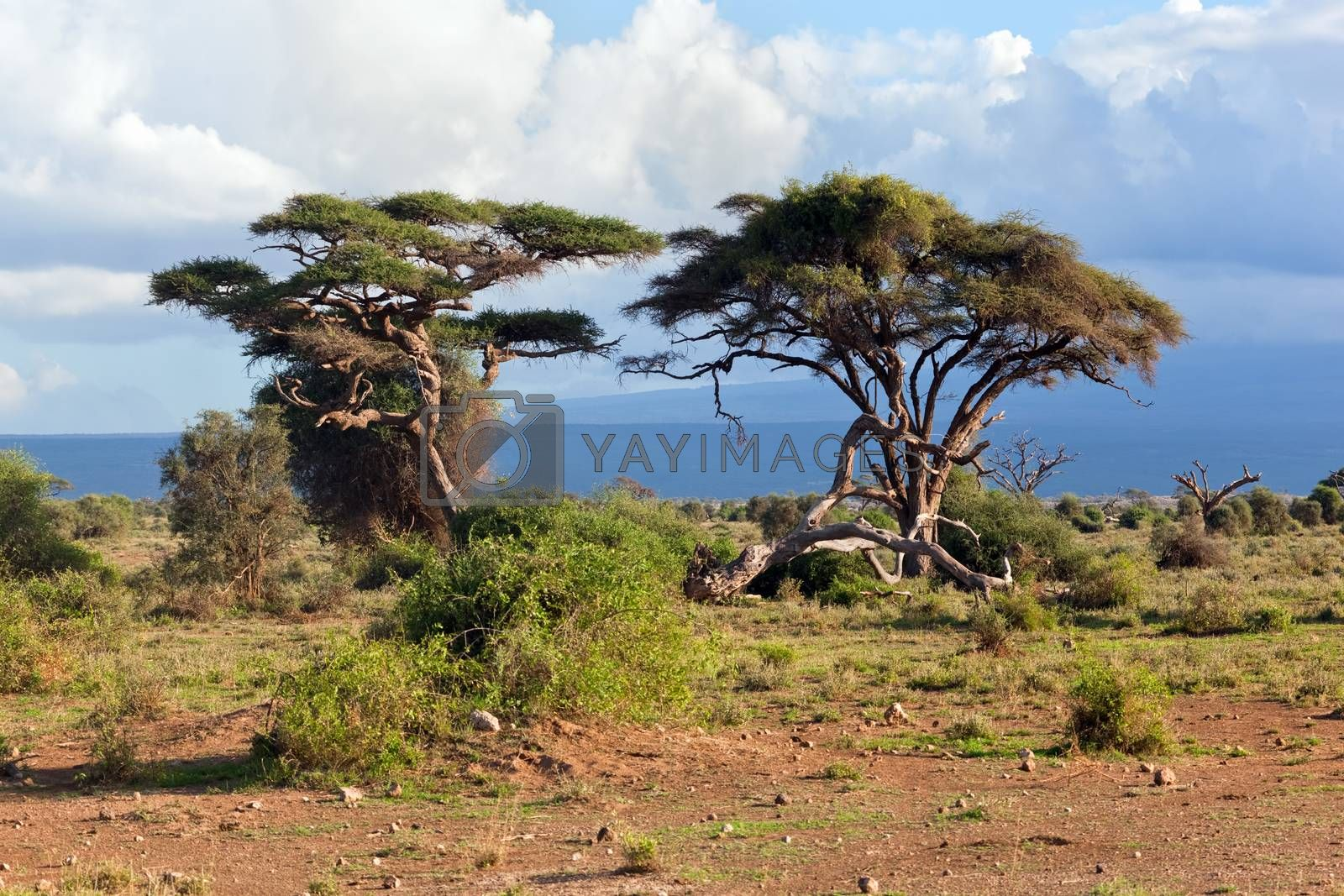 Royalty free image of Savanna landscape in Africa, Amboseli, Kenya  by photocreo