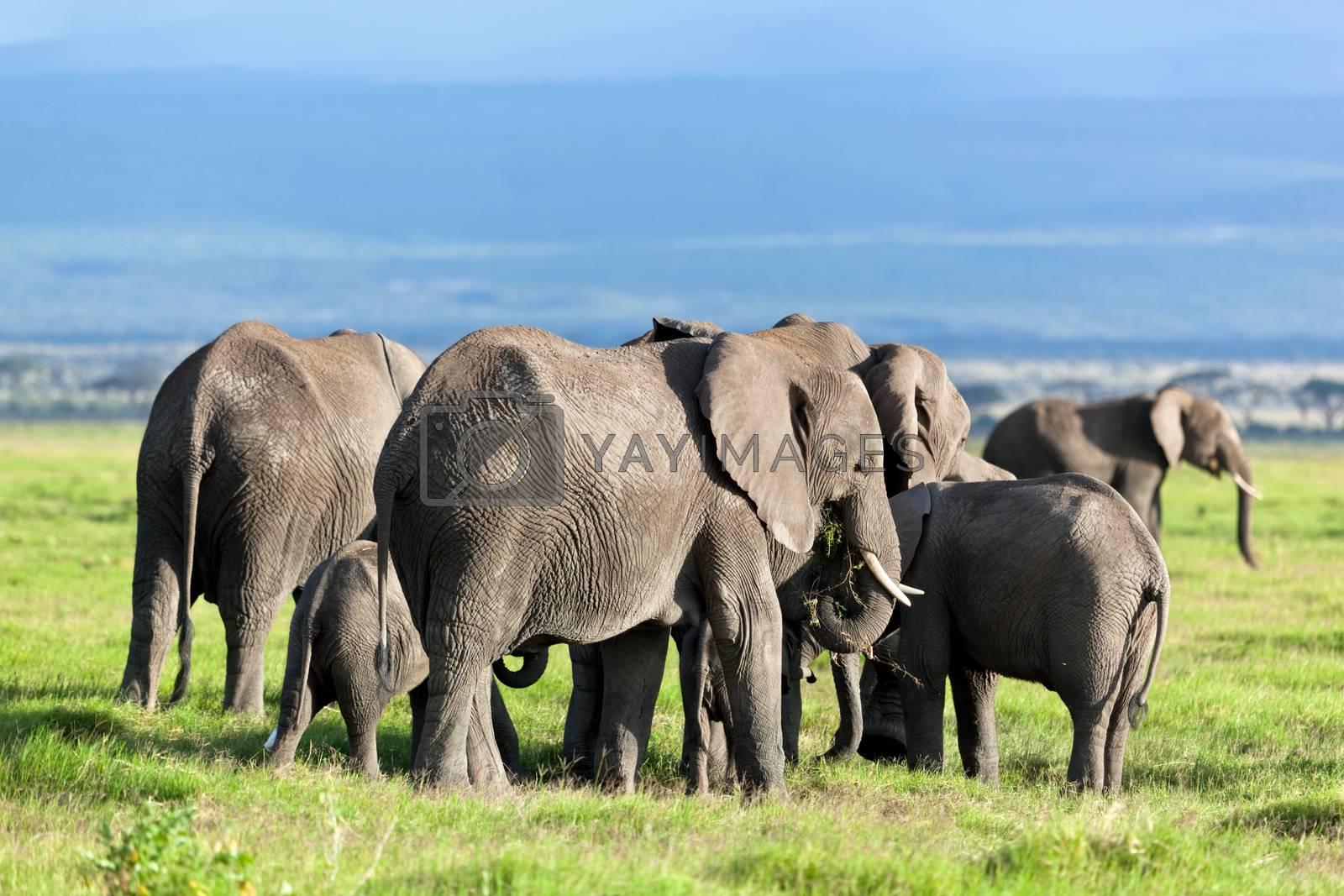 Royalty free image of Elephants herd on savanna. Safari in Amboseli, Kenya, Africa by photocreo