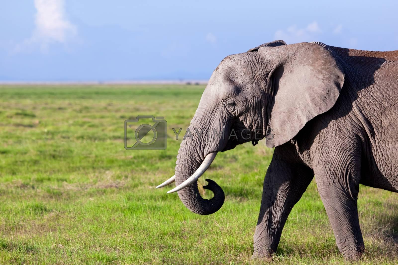 Royalty free image of Elephant on savanna. Safari in Amboseli, Kenya, Africa by photocreo