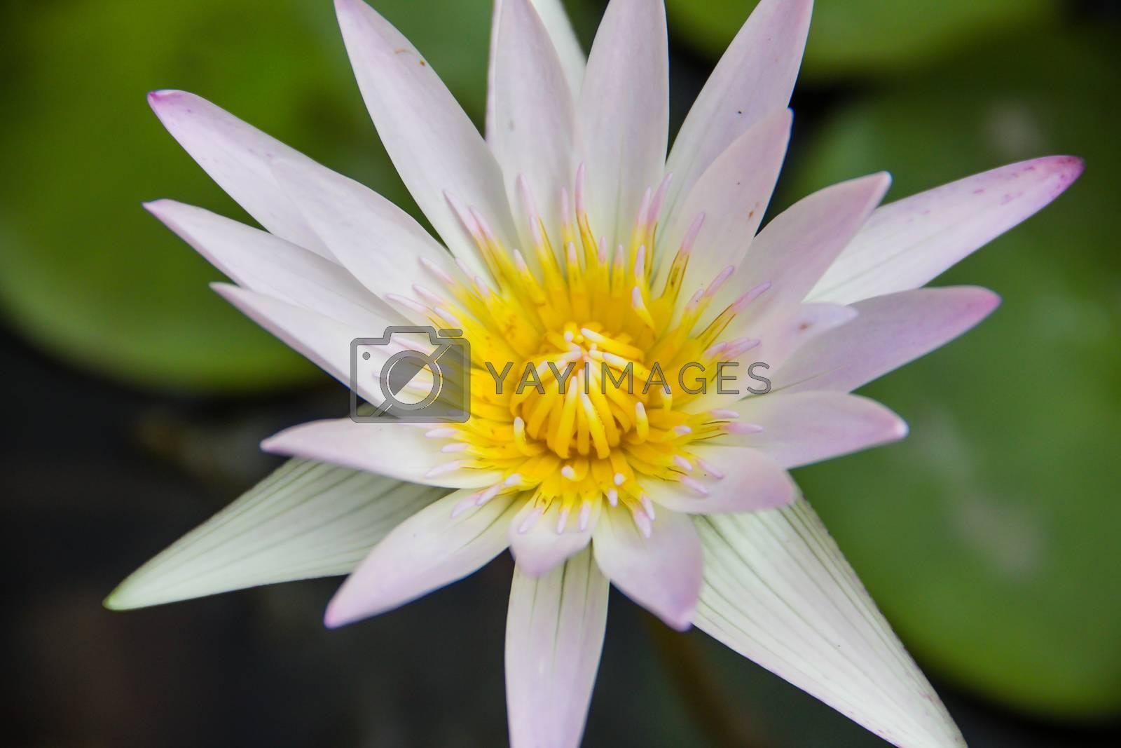 White Lotus by edlits