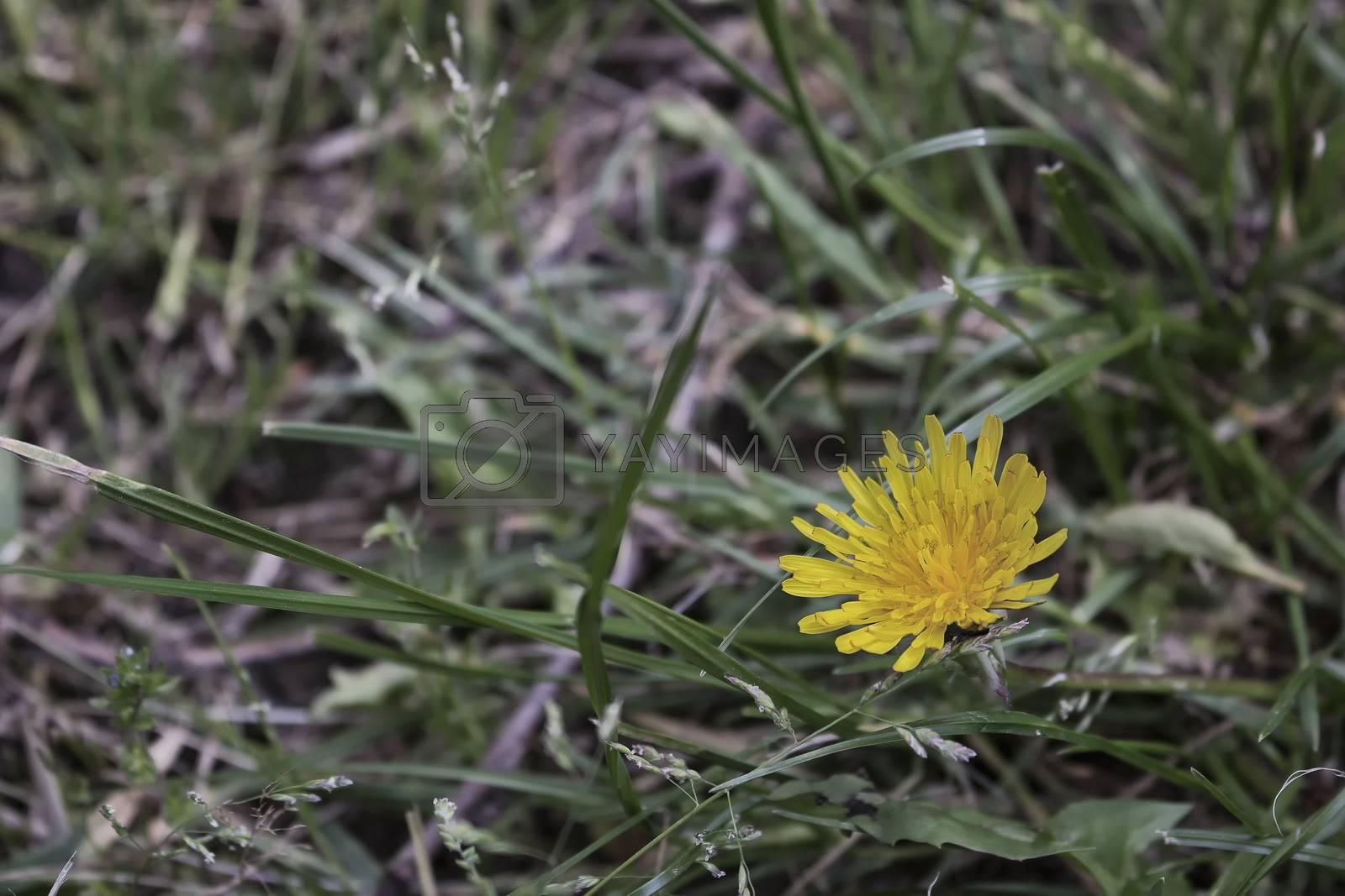 Dandelion flower on green weeds background in Italian countryside