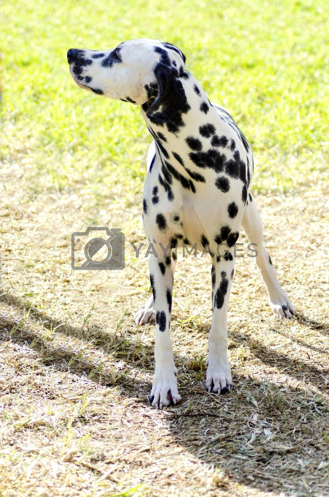 Dalmatian dog by f8grapher