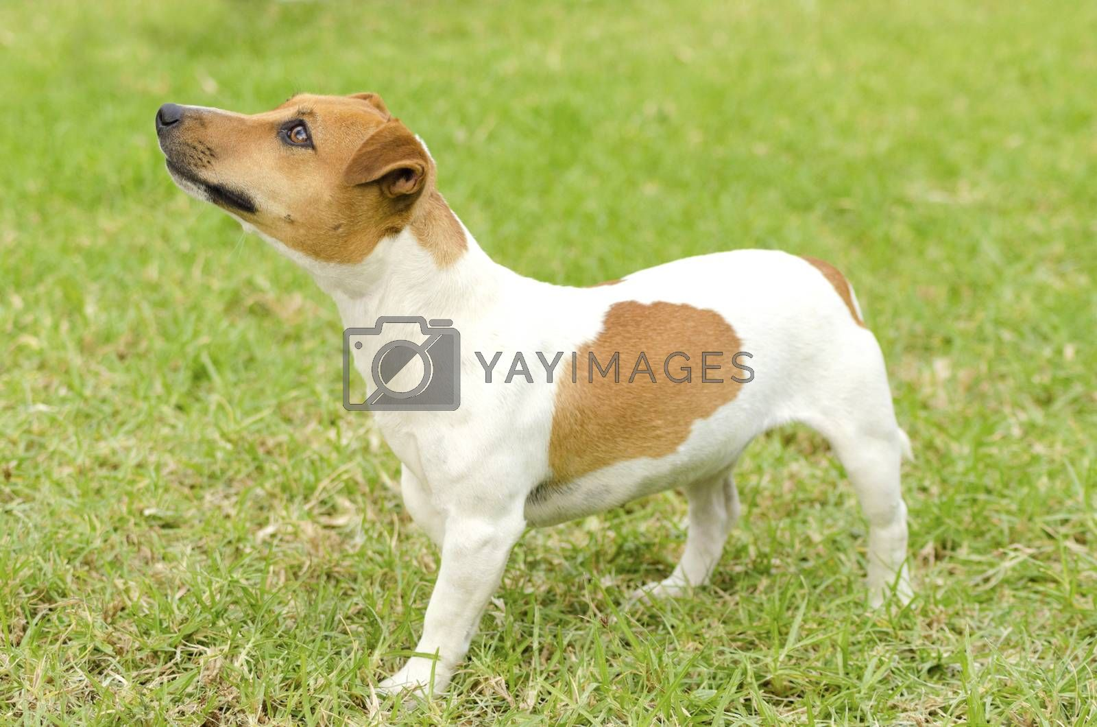 Jack Russell Terrier by f8grapher