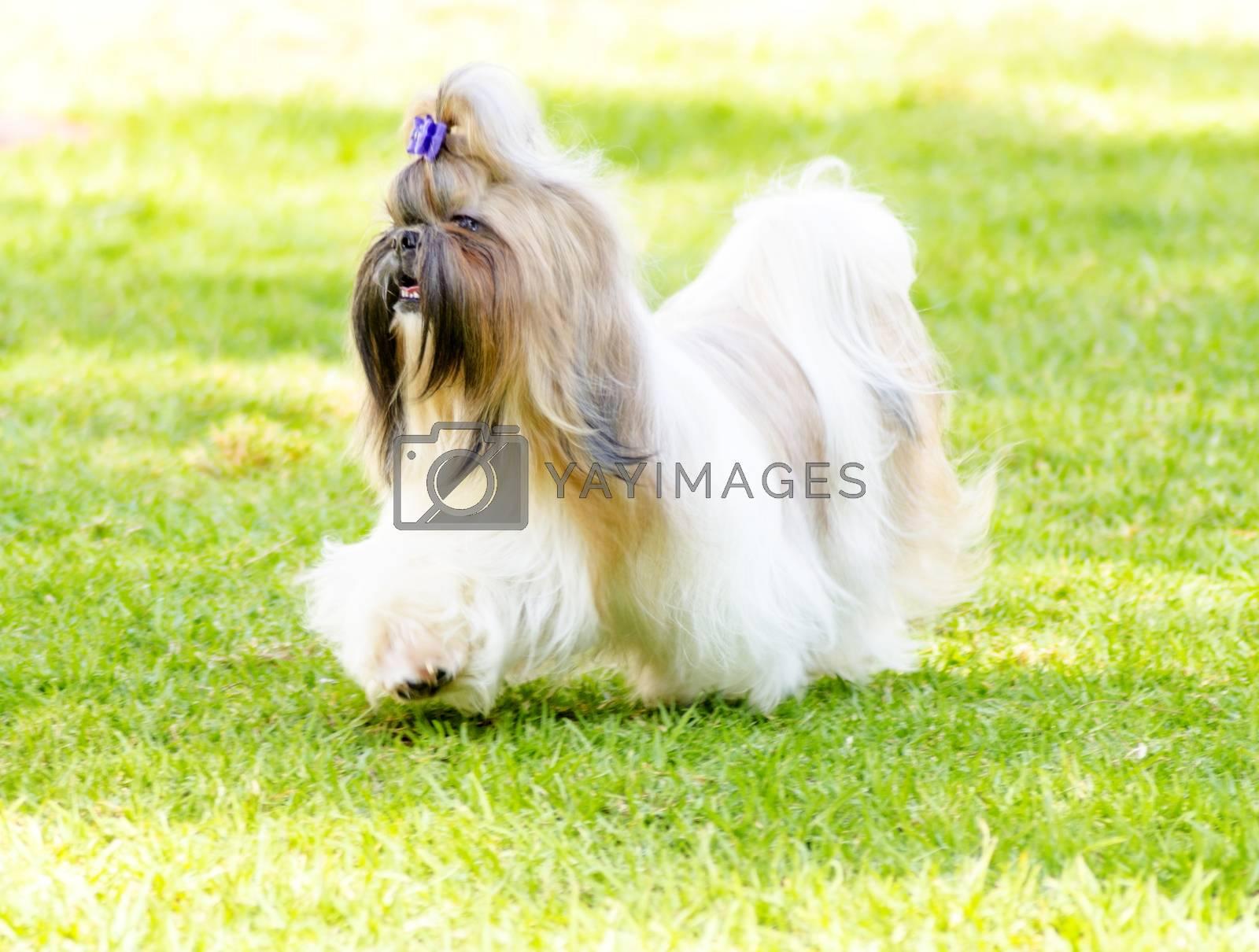 Shih Tzu dog by f8grapher
