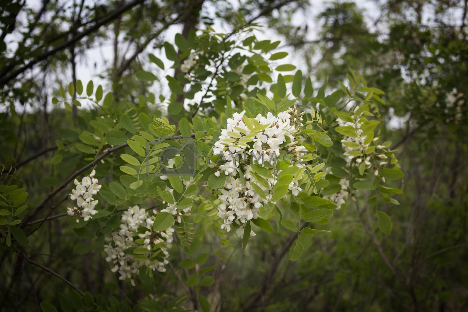 White flowers on green trees in Italian countryside