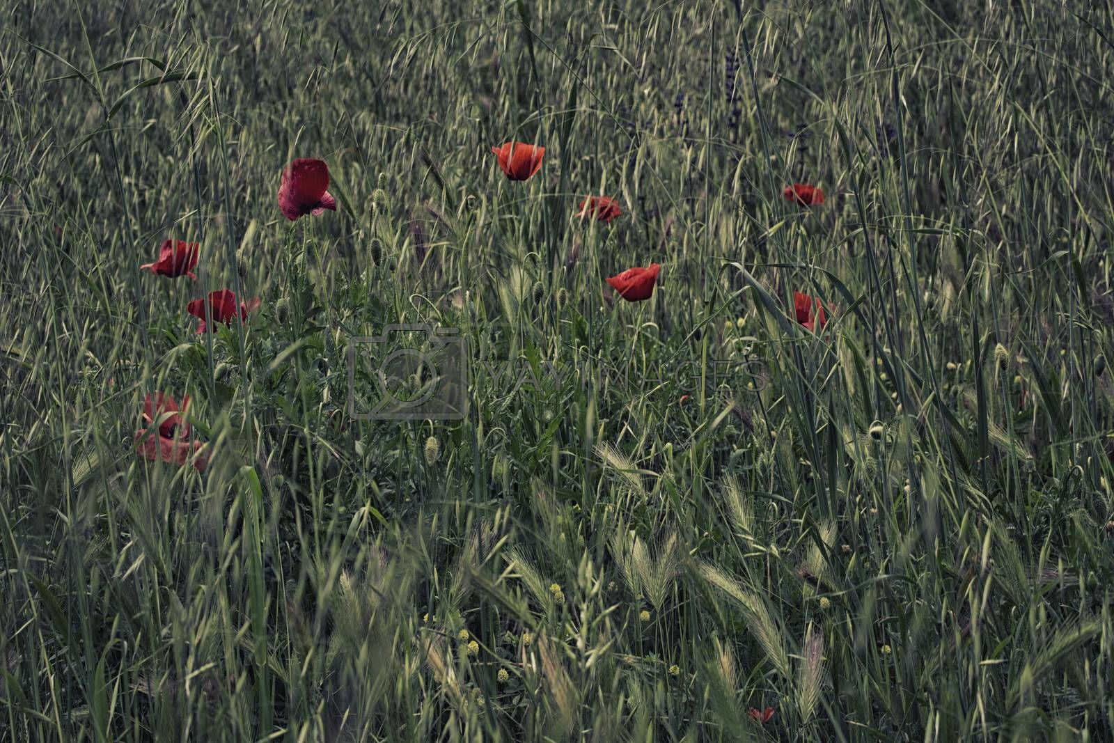 Red poppies on green weeds field with flowers