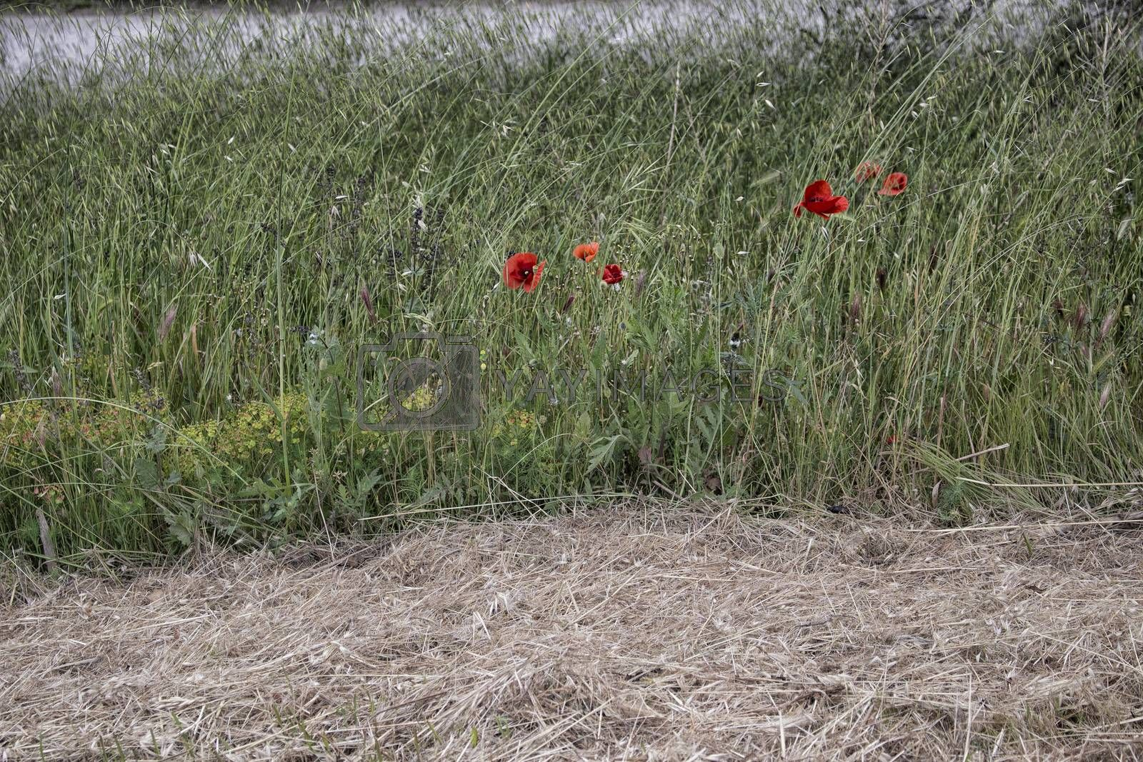 Red poppy on green weeds field with flowers