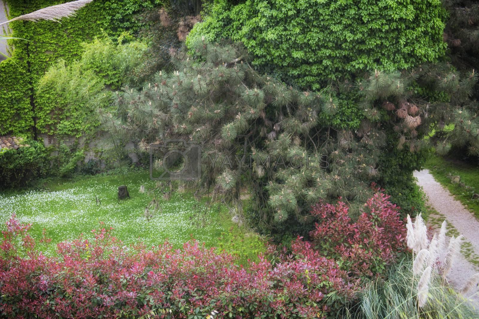 White daisy and green trees in Italian garden