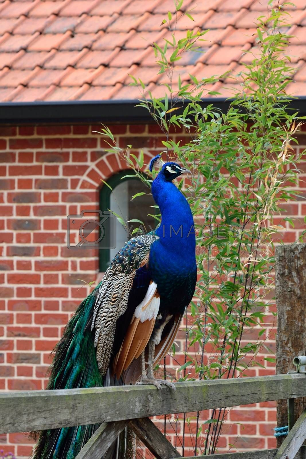 peacock on wood fence by pauws99