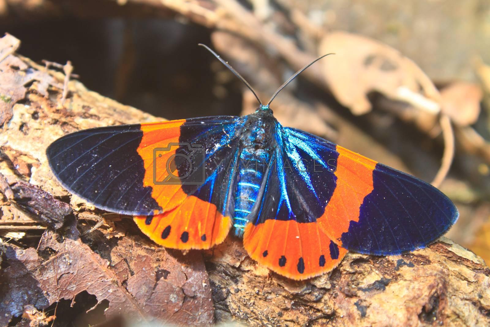 beautiful moth in deep forest, in genus Milionia