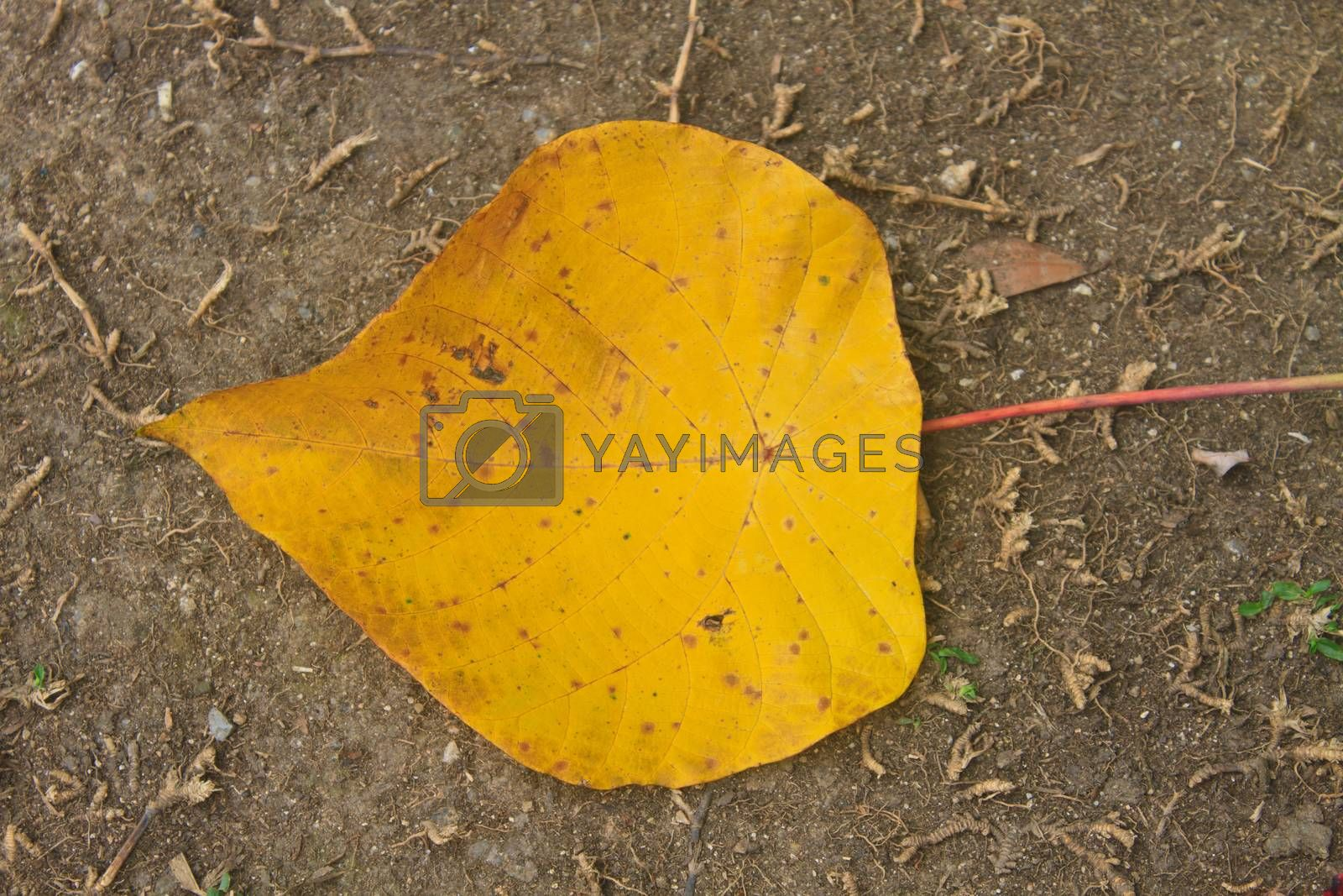 Yellow autumn leaf on ground  by forest71