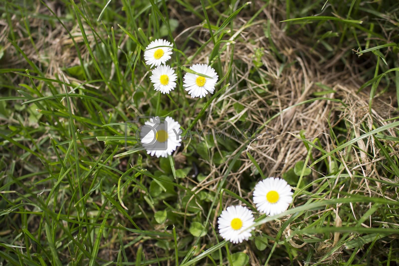 Daisy macro: bellis perennis on grass background