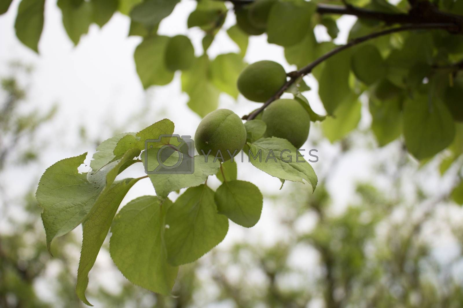 Green unripe fruit on apricot tree in Italy