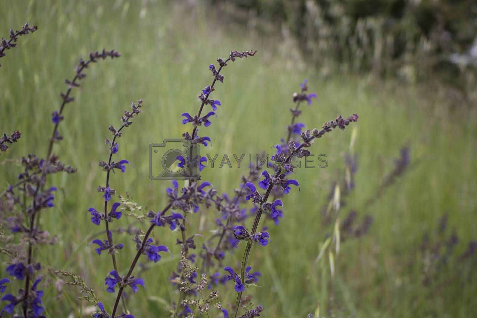 Purple flower on weeds background in Italy