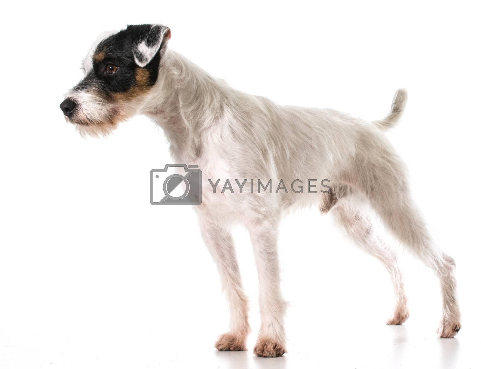 jack russel terrier by willeecole123