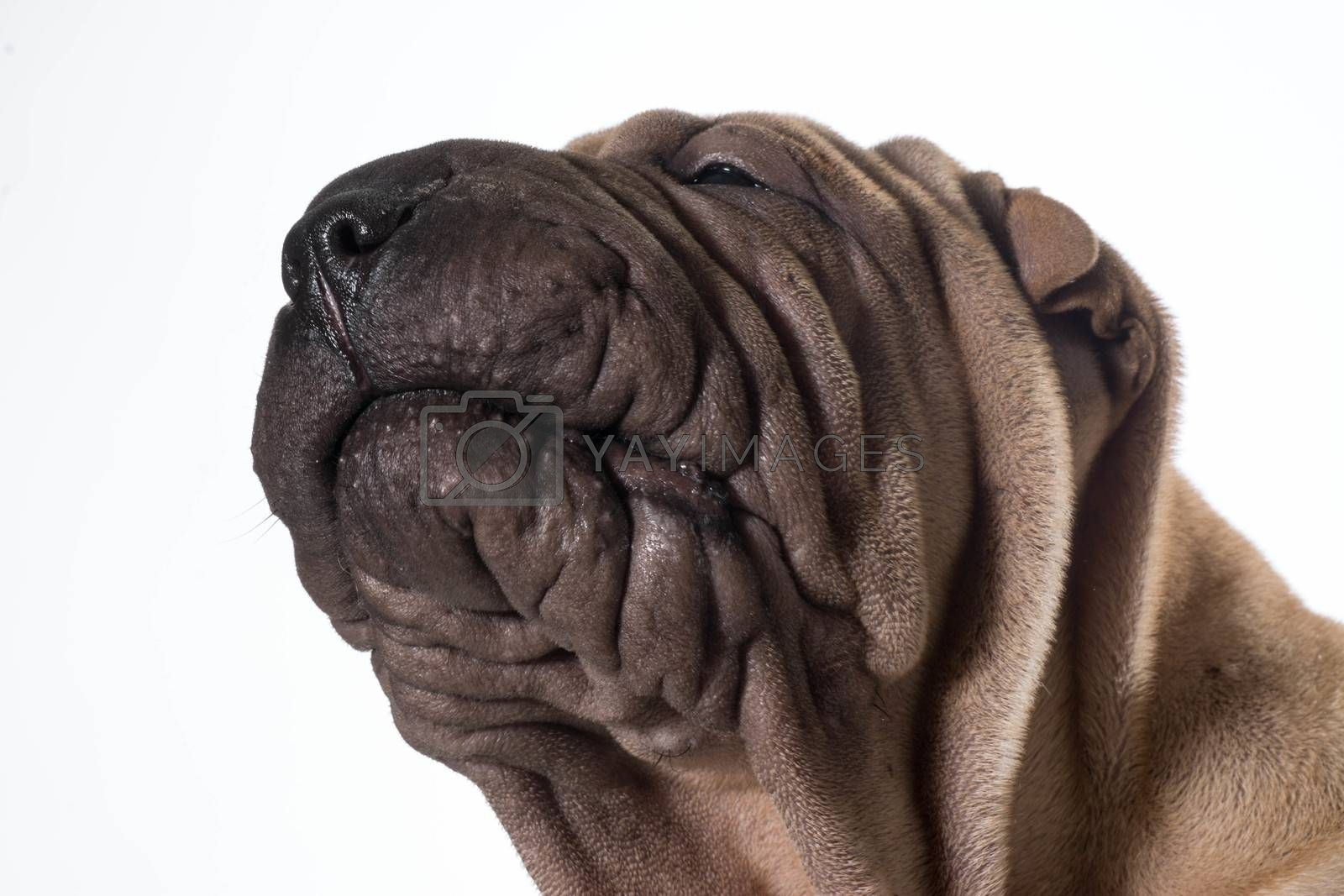 chinese shar pei head portrait by willeecole123