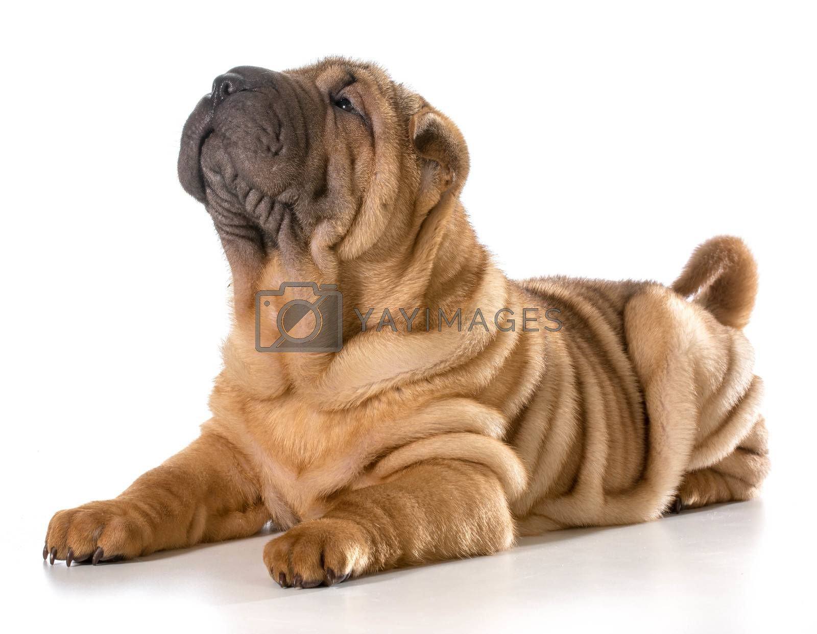 cute puppy laying down isolated on white background