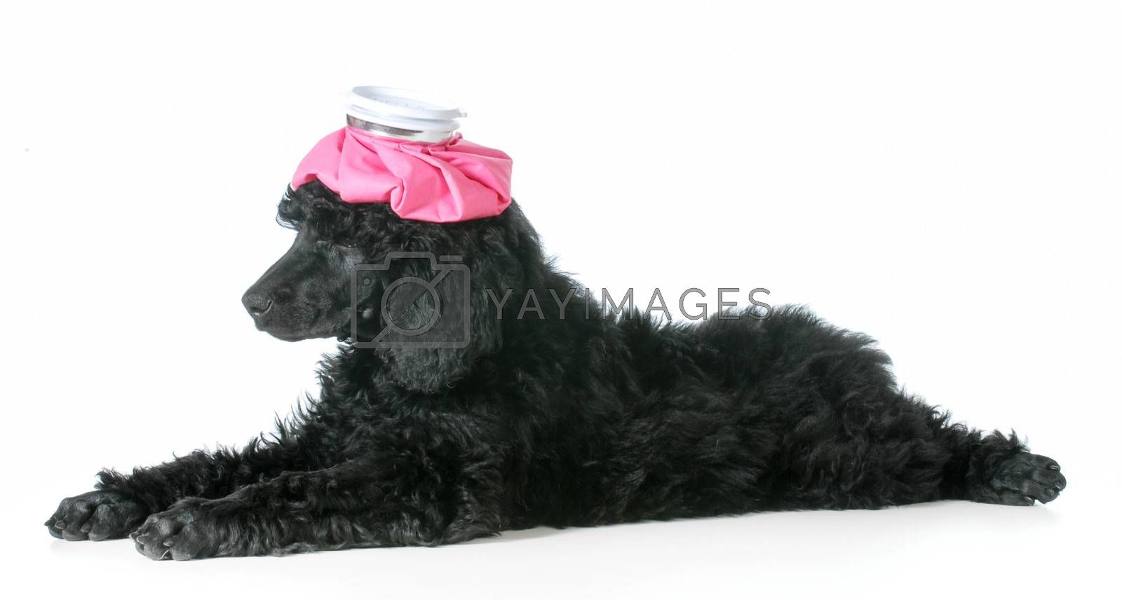 sick dog - standard poodle puppy with hot water bottle one head isolated on white background