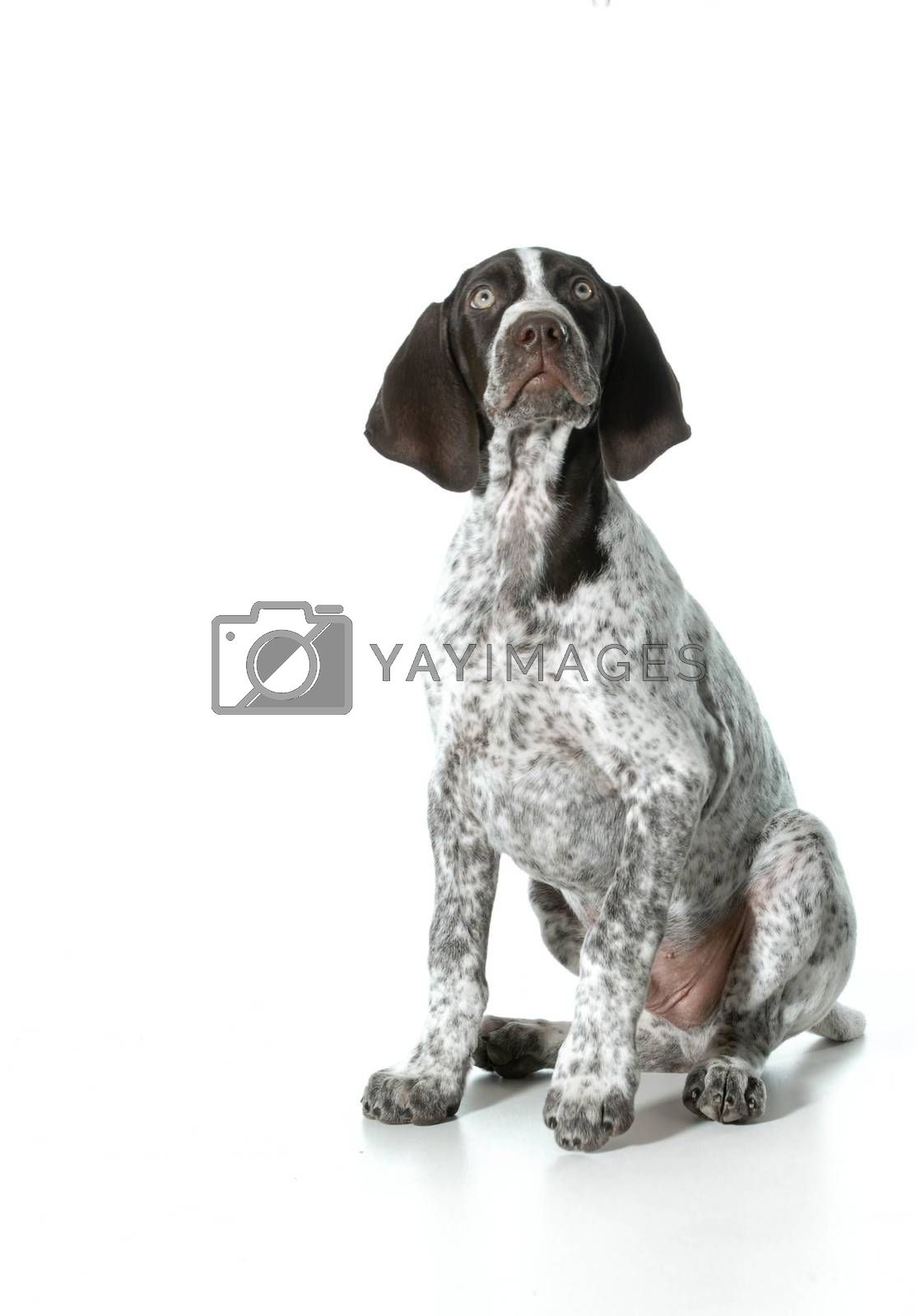german shorthaired pointer puppy by willeecole123