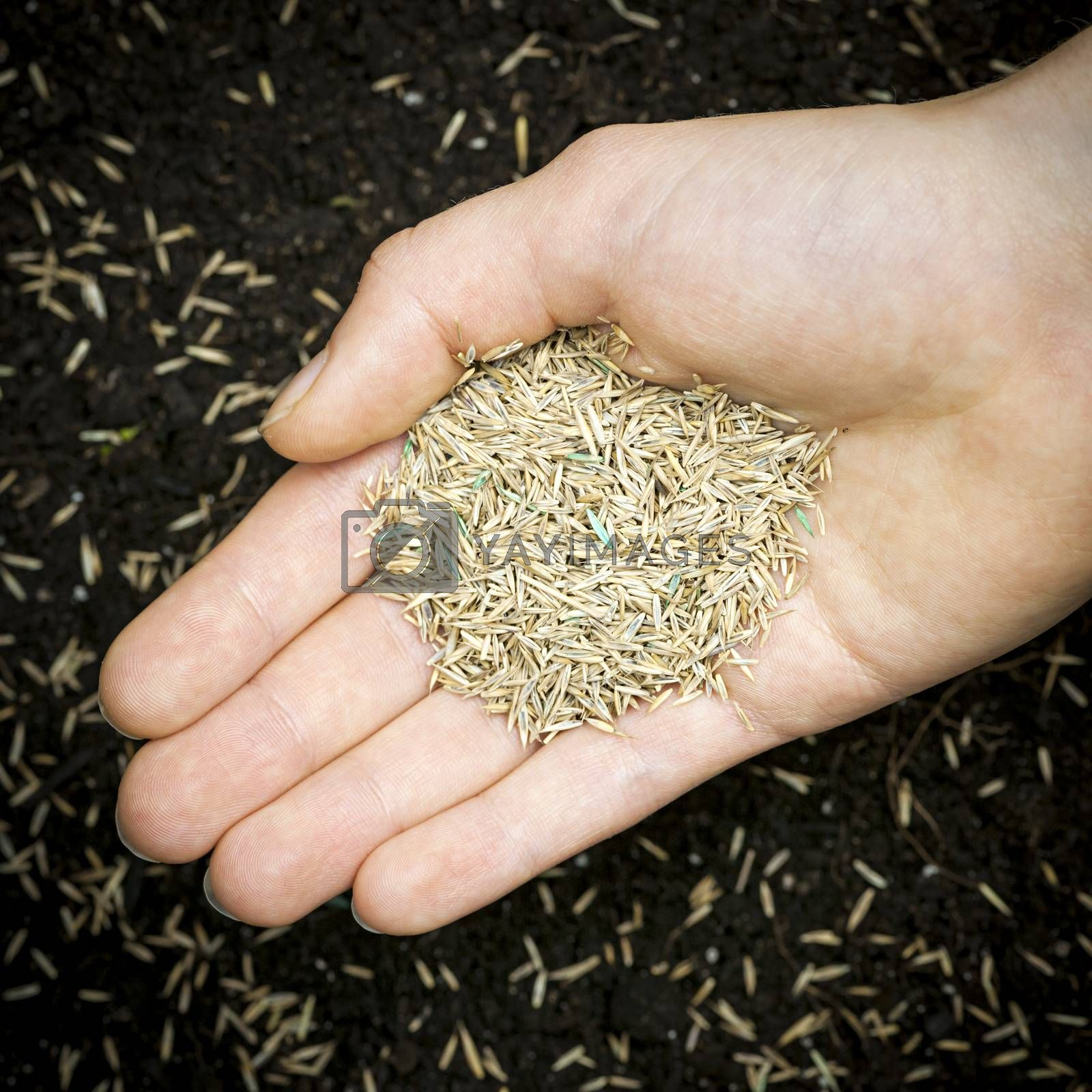 Grass seed held in hand over soil with planted seeds