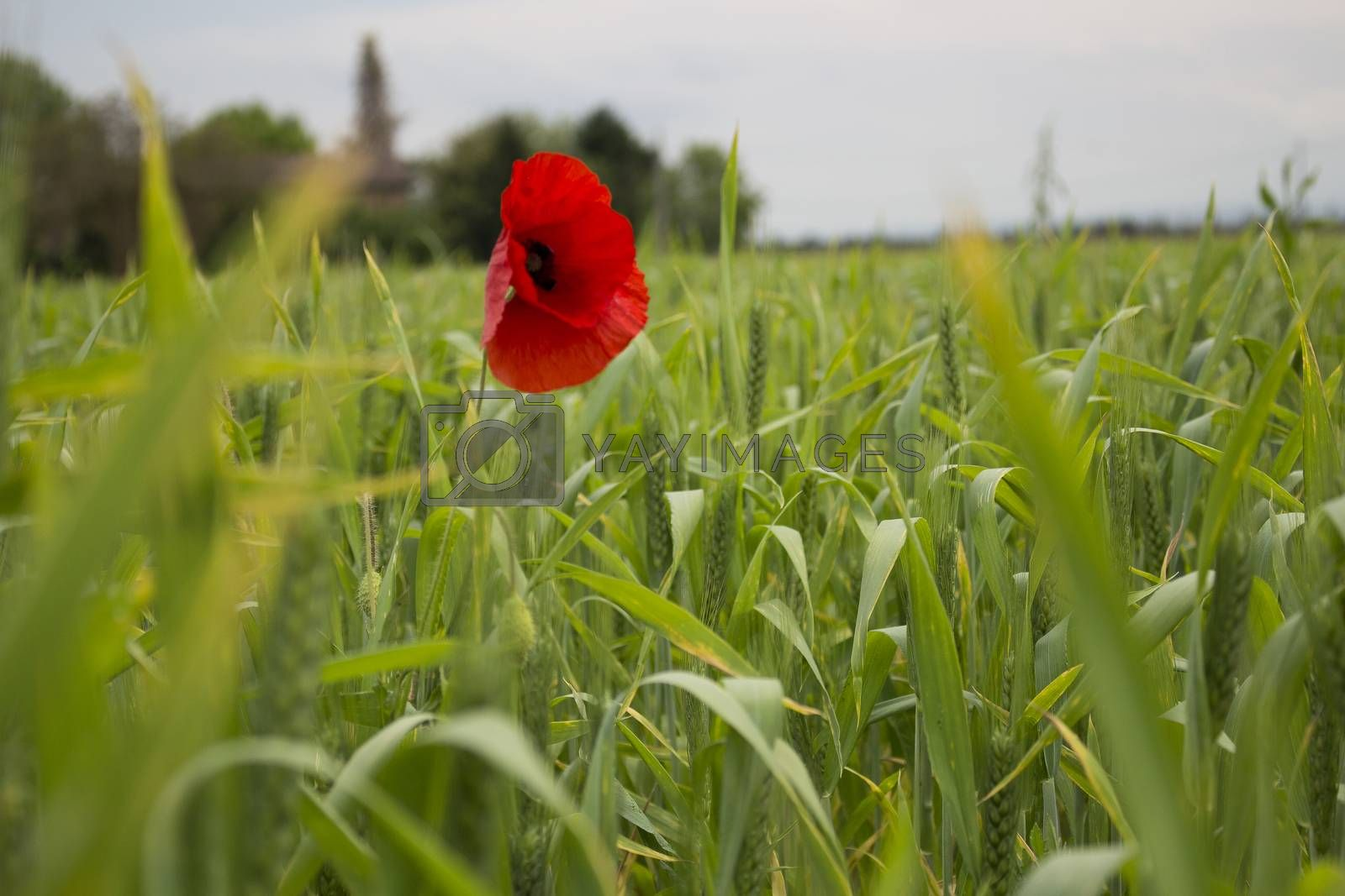 Lone Red poppy on dramatic green weeds field