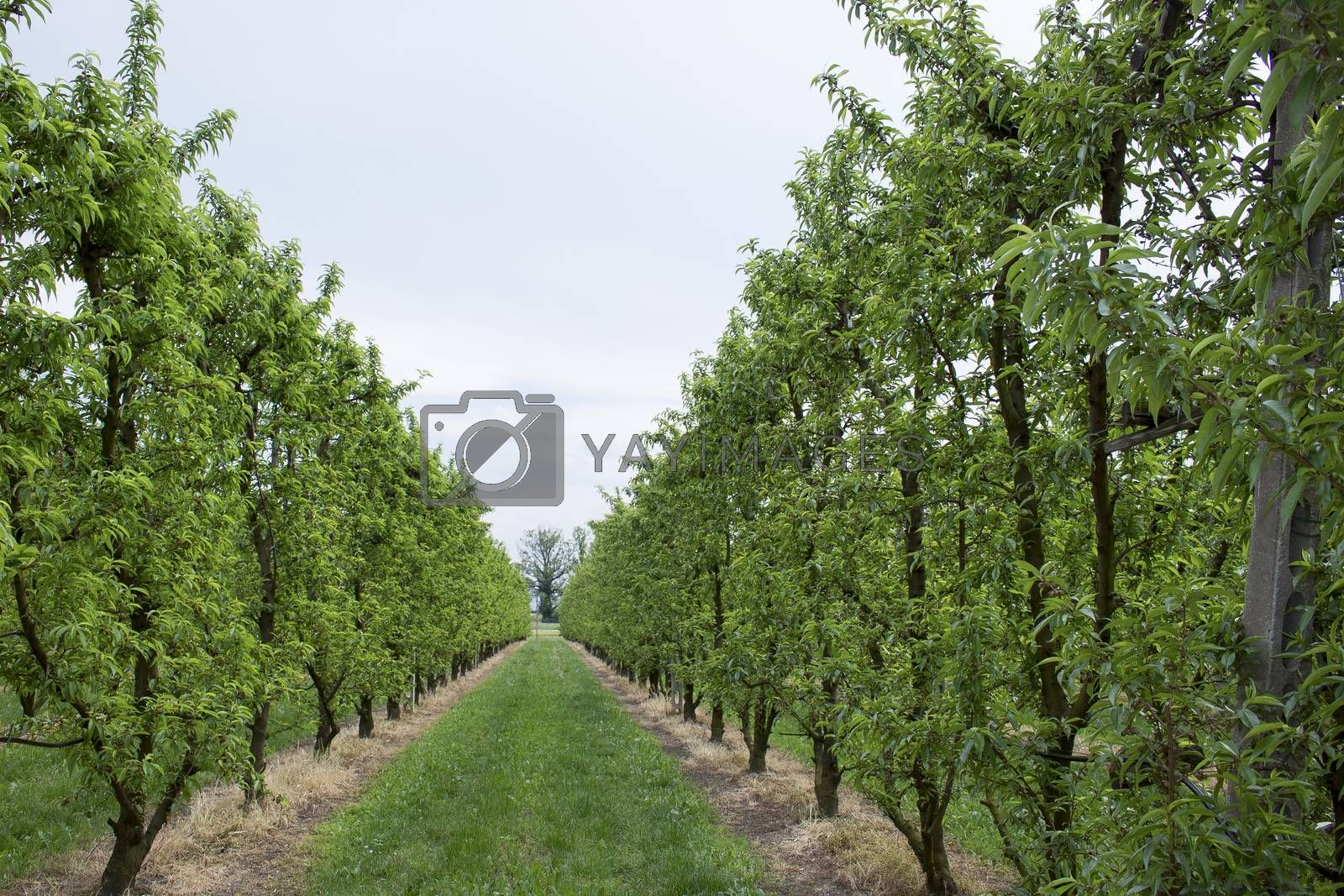 Peach trees rows
