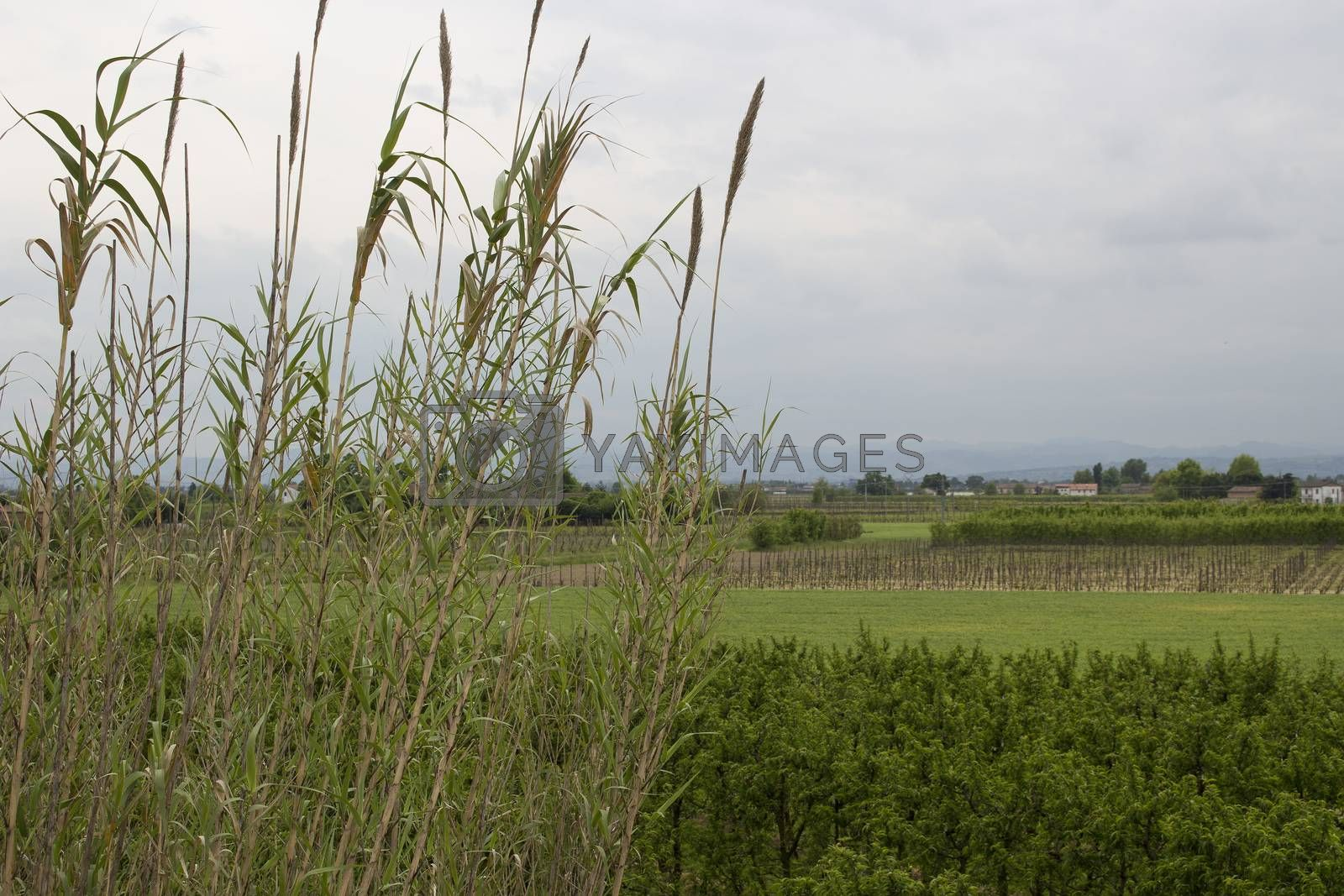 Giant canes on sky background in Italian agricultural countryside
